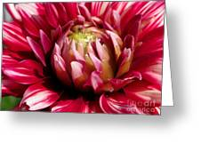Dahlia Named Friquolet Greeting Card