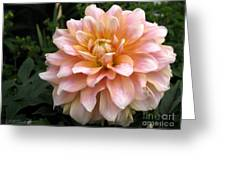Dahlia Named Seattle Greeting Card