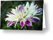 Dahlia No. 2173 Greeting Card