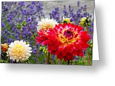 Dahlias Among The Lavender Greeting Card