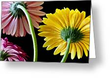 Dahlias Up-close Greeting Card
