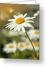 Daisies ... Again - Original Greeting Card