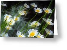Daisies A Greeting Card