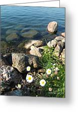 Daisies By The River Greeting Card by Margaret McDermott