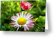 Daisies In Januray Greeting Card