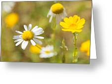 Daisies On Summer Meadow Greeting Card