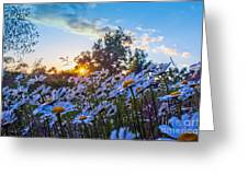 Daisies Sunset Greeting Card