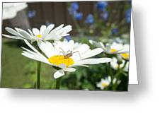 Daisies With Phalangiid Vistitor Greeting Card