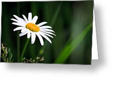 Daisy - Bellis Perennis Greeting Card