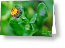 Daisy Bud Ready To Bloom Greeting Card