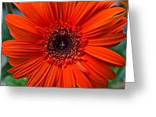 Daisy In Full Bloom Greeting Card
