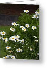 Daisy Splendor Greeting Card