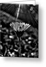 Monochrome Daisy Under Sun Greeting Card