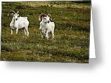 Dall Rams On Alert Greeting Card