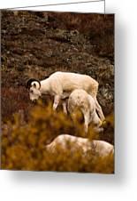 Dall Sheep Grazing Greeting Card