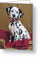 Dalmatian In Basket A108 Greeting Card