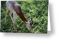 Dama Gazelle - National Zoo - 01137 Greeting Card