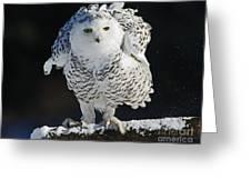 Dance Of Glory - Snowy Owl Greeting Card