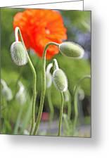 Dancing Orange Poppy Flower Pods Greeting Card