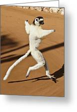 Dancing Sifaka 2 Greeting Card