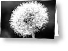 Dandelion Square Portrait In Black And White Greeting Card