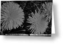 Dandelion Weeds? B/w Greeting Card