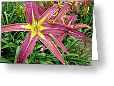 Dark Star Daylilies Greeting Card