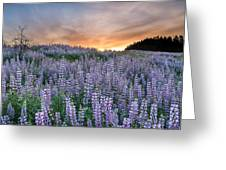 Dawn Of Lupine Greeting Card