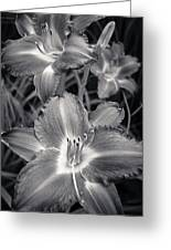 Day Lilies In Black And White Greeting Card by Adam Romanowicz
