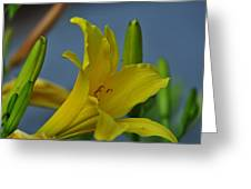 Day Lily 3 Greeting Card