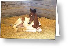 Day Old Colt Greeting Card