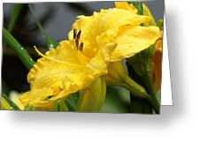 Daylilies Abound Greeting Card