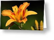 Daylillies0131 Greeting Card