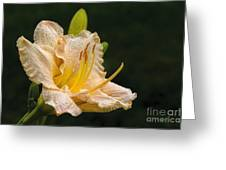 Daylily After A Morning Rain Greeting Card