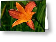 Daylily II Greeting Card