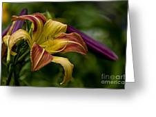 Daylily Picture 452 Greeting Card