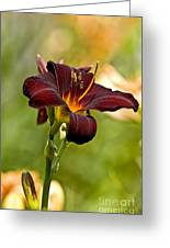 Daylily Pictures 576 Greeting Card