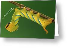 Deaths Head Hawk Moth  Greeting Card
