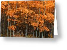 Deciduous Aspen Forest In Fall Greeting Card