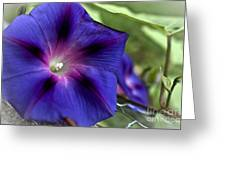 Deep Blue Morning Glories Greeting Card