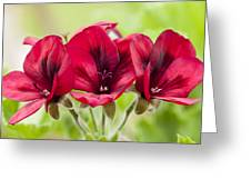 Deep Crimson Pelargonium Greeting Card