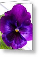 Deep Purple Pansy Greeting Card