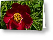 Deep Red Peony With Bright Yellow Stamens  Greeting Card