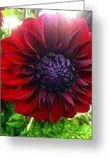 Deep Red To Purple Dahlia Flower Greeting Card