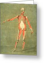 Deeper Muscular System Of The Front Greeting Card