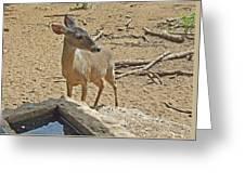 Deer At Waterhole Greeting Card