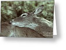 Deer Close-up Greeting Card