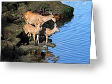 Deer Family By The Ocean At Low Tide Greeting Card