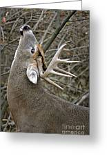 Deer Pictures 444 Greeting Card