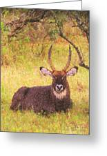 Defassa Waterbuck Kobus Ellipsiprymnus Greeting Card